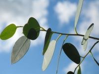 Cultivo do Eucalipto