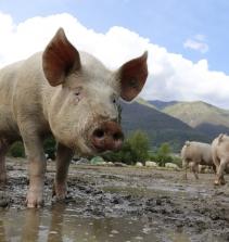 Suinocultura - criação de suínos