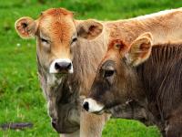 Factores climáticos que afectan el desempeño productivo del ganado bovino de carne y leche