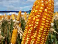 Preparo de Solo e Plantio de Milho
