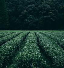 Sistema de Plantio Direto em Hortaliças (SPDH)