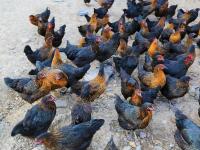 Criação de Aves