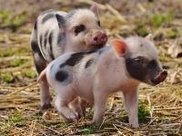 Criação Extensiva de Porcos Caipiras