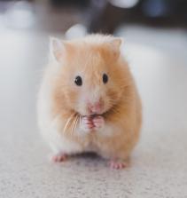 Cuidando de Hamster