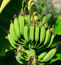 Acelerando Muda de Bananeira