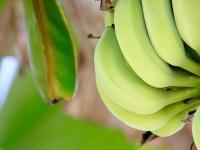 Mudas de Bananeiras