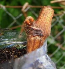 Enxertia Cupuaçu