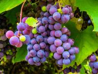 Plantando Uvas