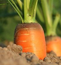 Como Plantar e Cultivar Cenoura (Nante) em Vasos (Pet).