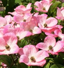 Como plantar e cuidados com  Flôr de Maio
