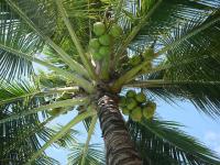 Coco: dicas de cultivo