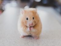 Hamster: banho e cuidados