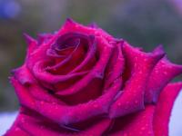 Buques e enfeites com rosas
