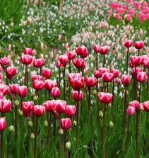 A cultura de flores de jardim
