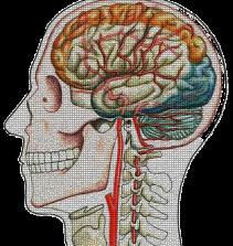 Anatomia: Cabeça e Pescoço