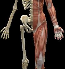 Meridianos extraordinário tendi muscular