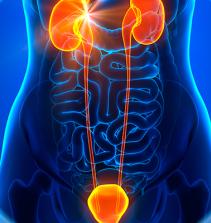 Sistema reprodutor urinário