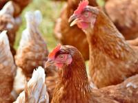 Manejo pré-abate dos animais de produção e controle de qualidade agroindustrial - Do Bem-estar à Segurança Alimentar